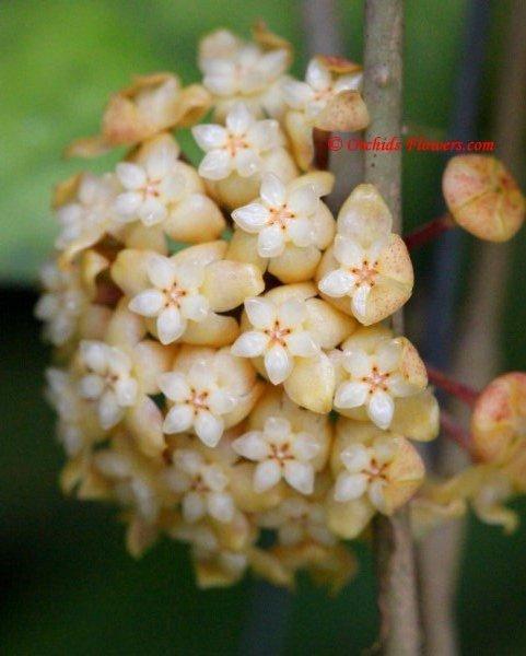 Hoya deykeae