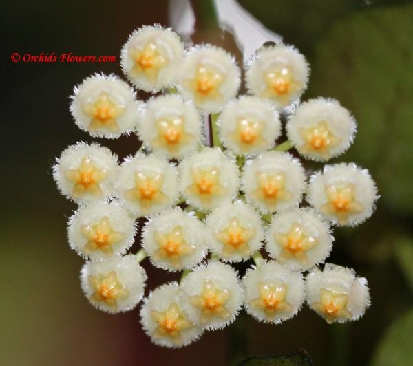 Hoya lacunosa Blume 1826
