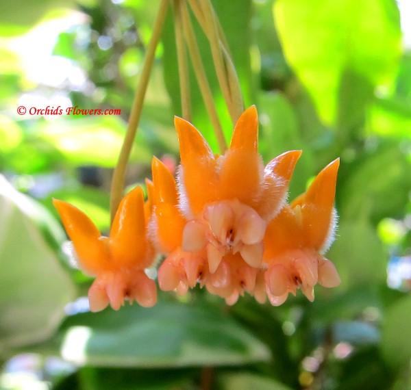 Hoya lasiantha