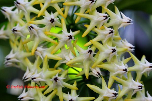 Hoya multiflora Blume 1826