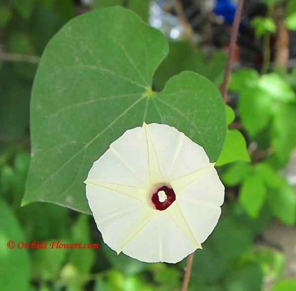 Man of the Earth (Ipomoea pandurata)