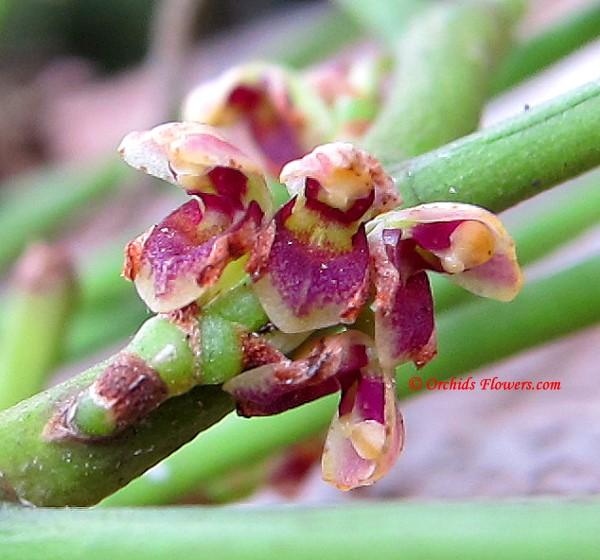 Luisia zollingeri Rchb.f. 1863