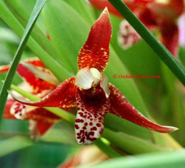 Maxillaria tenuifolia Lindl. 1837, Coconut Orchid
