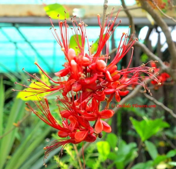 Monkey Flower Tree (Phyllocarpus septentrionalis)