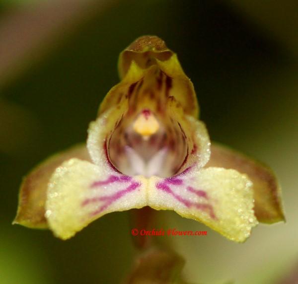 Oeceoclades petiolata