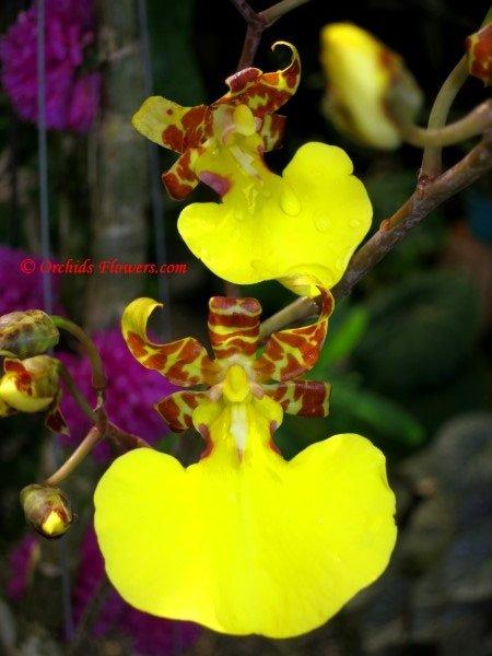Mule Ear Orchid Oncidium splendidum
