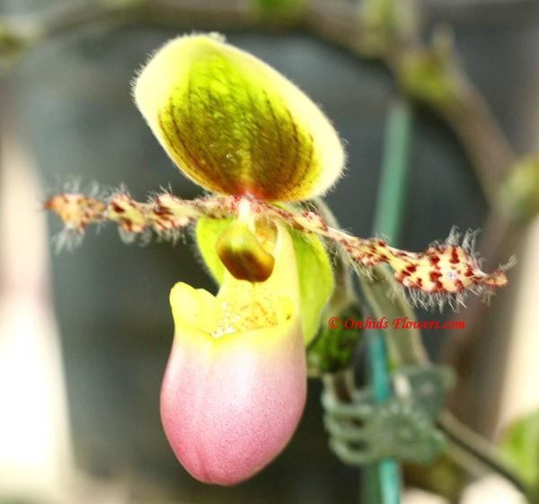 Lady Slipper Orchid Paphiopedilum liemianum
