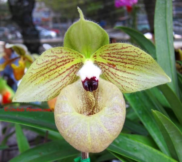 Jade Slipper Orchid (Paphiopedilum malipoense)