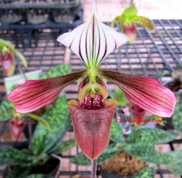Lady Slipper Orchid Paphiopedilum purpuratum