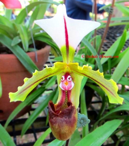 Lady Slipper Orchid Paphiopedilum spicerianum