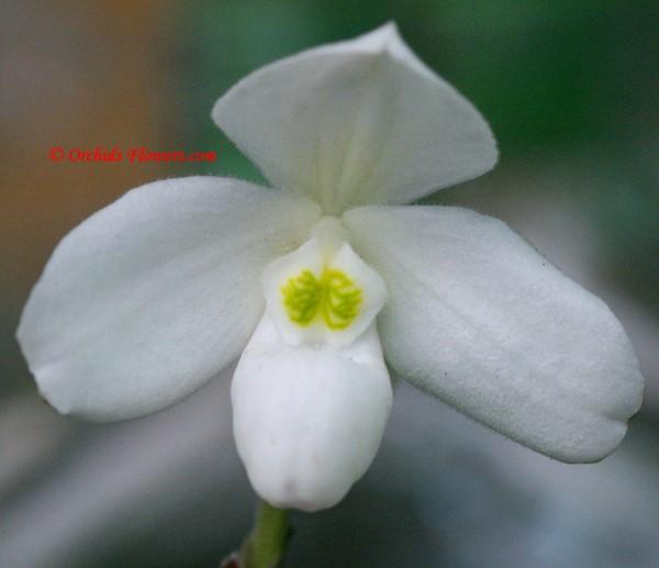 Paphiopedilum thaianum
