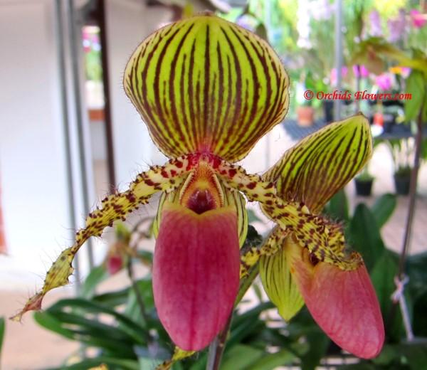 Lady Slipper Orchid Paphiopedilum Vanguard