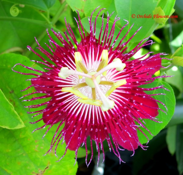 Passionflower Passiflora Lady Margaret