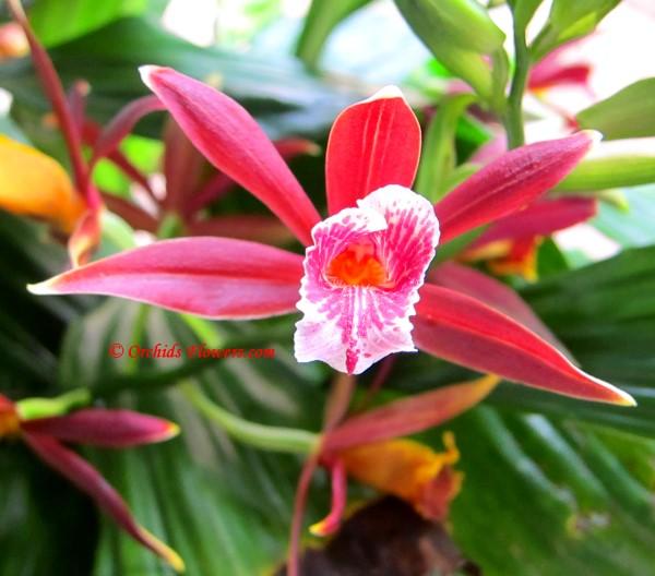 Terrestrial Orchid Phaius montanus