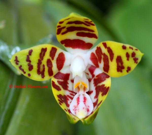 Phalaenopsis amboinensis J.J.Smith 1911
