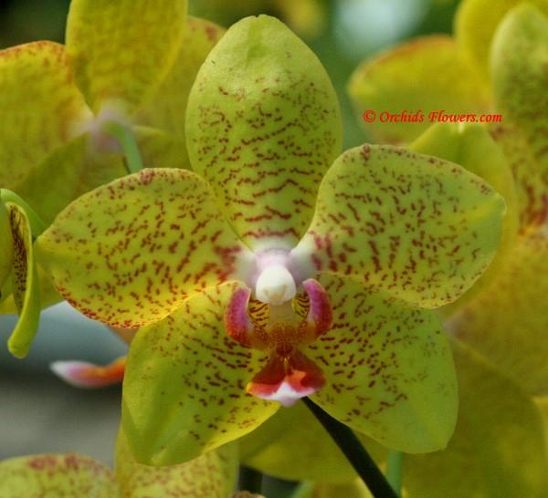 Phalaenopsis Brother Goldsmith