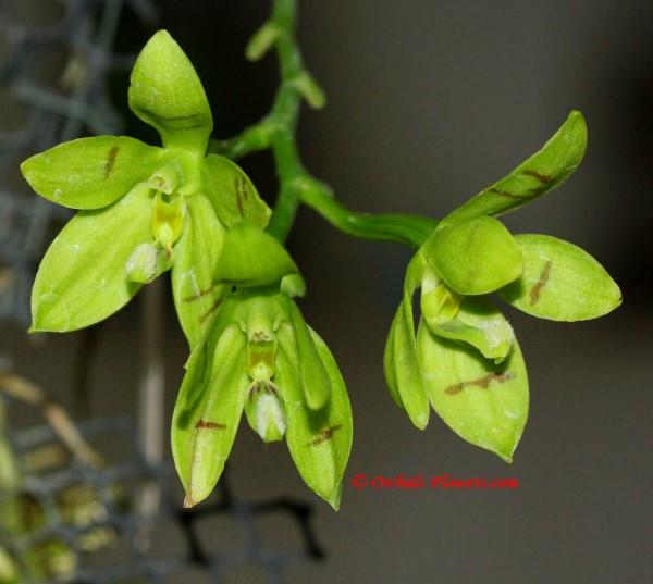 Phalaenopsis cornu-cervi var. alba