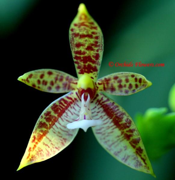 Phalaenopsis cornu-cervi Blume & Rchb. f. 1860