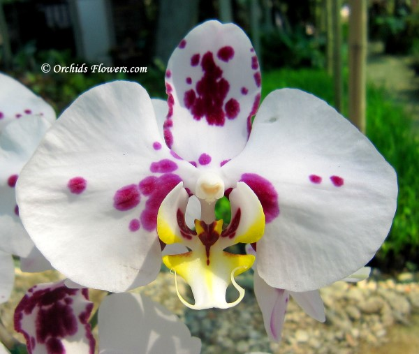 Orchid Hybrid Phalaenopsis Ever Spring Fairy