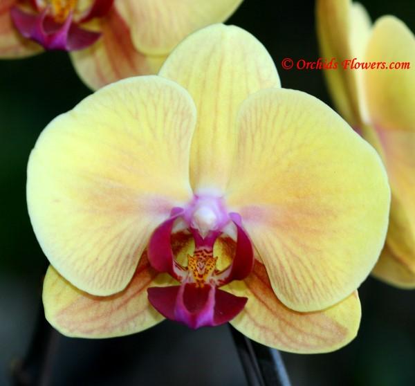 Phalaenopsis Golden Beauty