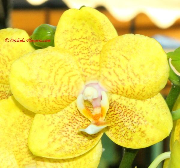 Phalaenopsis I-Hsin Sunflower