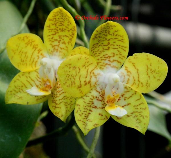 Phalaenopsis Kenanga