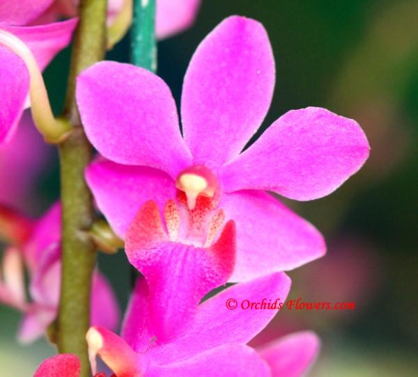 Phalaenopsis Pentel Gem