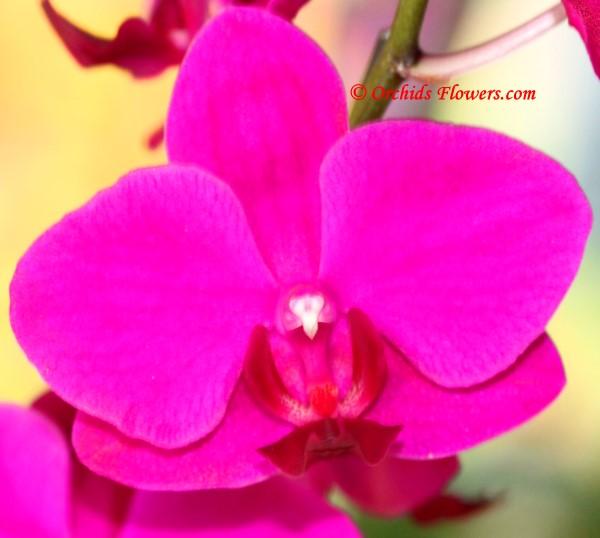 Phalaenopsis Sinica Cherry