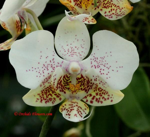 Phalaenopsis stuartiana Rchb.f. 1881
