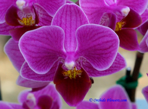 Phalaenopsis Taida Super Jewel