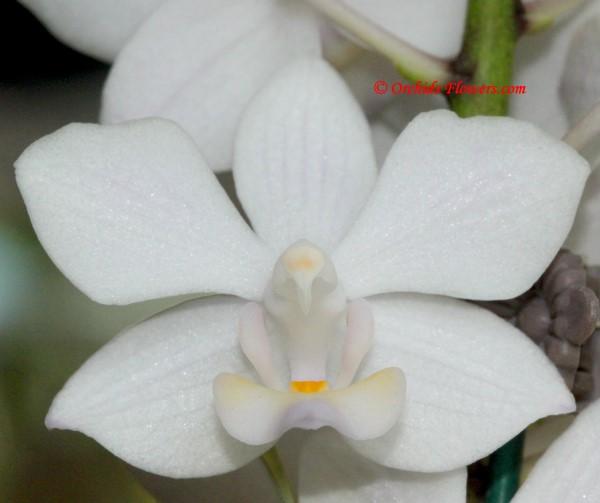 Phalaenopsis Tying Shin Sapphire