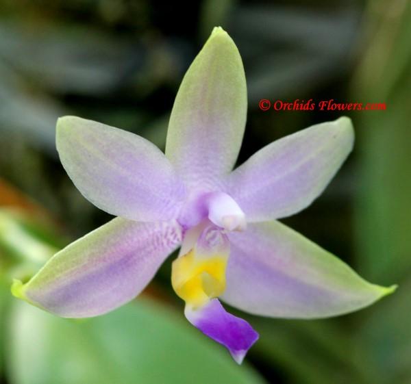 Phalaenopsis violacea fo. coerulea Christenson
