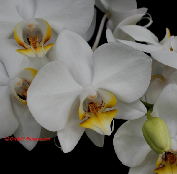 Phalaenopsis White Dream