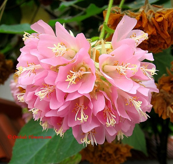 Pink Ball (Dombeya x cayeuxii)