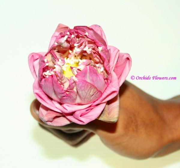Pink Lotus Flower, Nelumbo nucifera