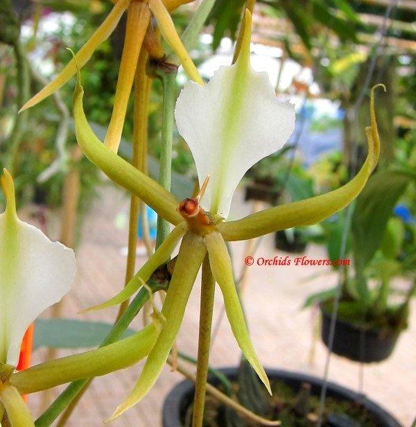 Plectrelminthus caudatus (Lindl.) Summerh. 1949