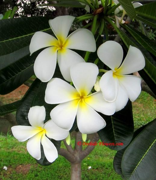 Plumeria obtusa (Singapore White)