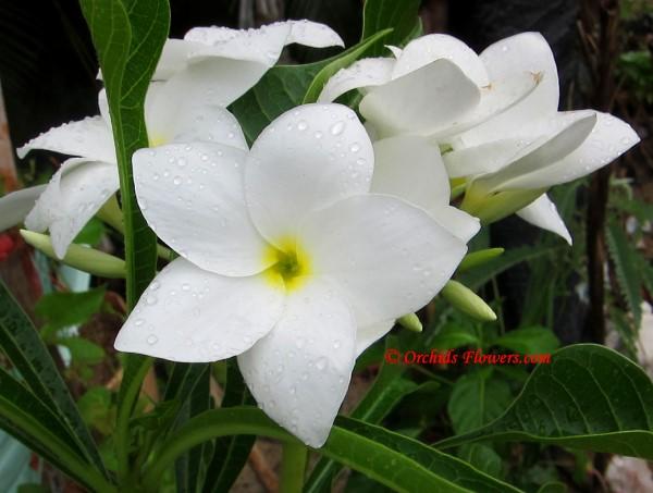 Bridal bouquet (Plumeria pudica)