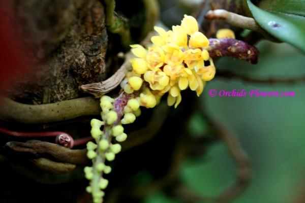 Pomatocalpa spicatum (Pomatocalpa spicata)