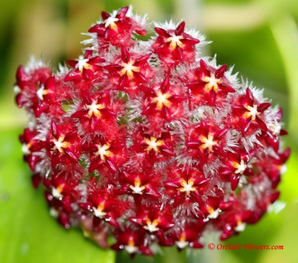 Red Hoya mindorensis Schltr. 1906