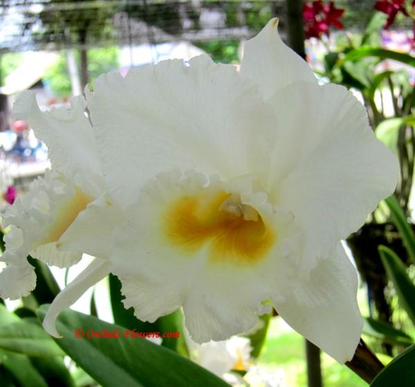 Orchid Hybrid Rhyncholaeliocattleya White Diamond