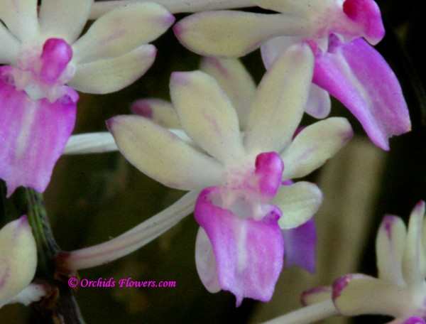 Seidenfadenia mitrata (Rchb.f.) Garay 1972