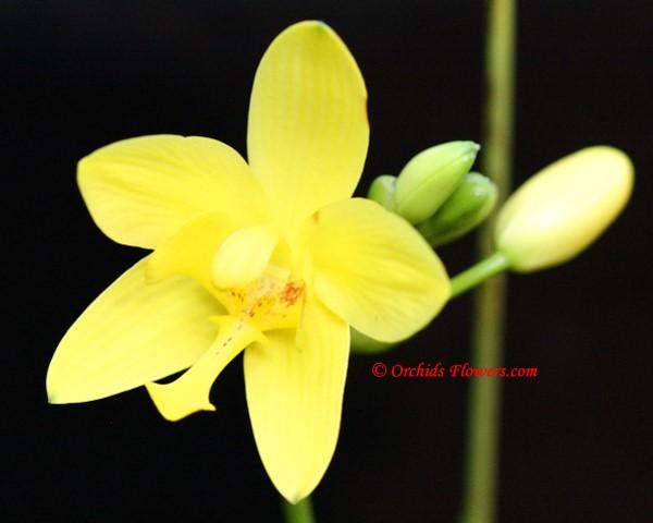 Yellow Ground Orchid (Spathoglottis kimballiana)