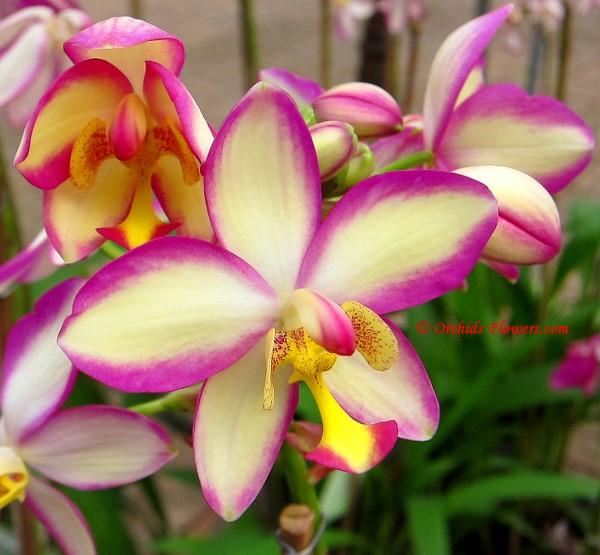 Orchid Hybrid  Spathoglottis Memoria Eileen Stokes