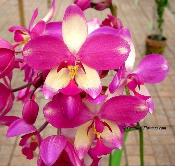 Orchid Hybrid Spathoglottis × parsonsii