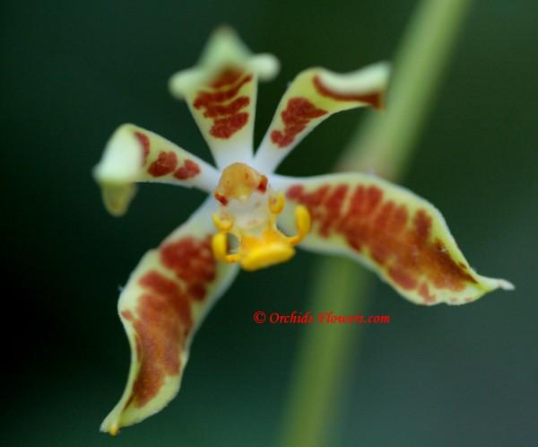 Staurochilus dawsonianus (Rchb.f.) Schltr. 1914