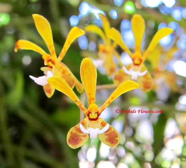 Thai orchid Staurochilus gibbosicalcar Seidenf. 1988