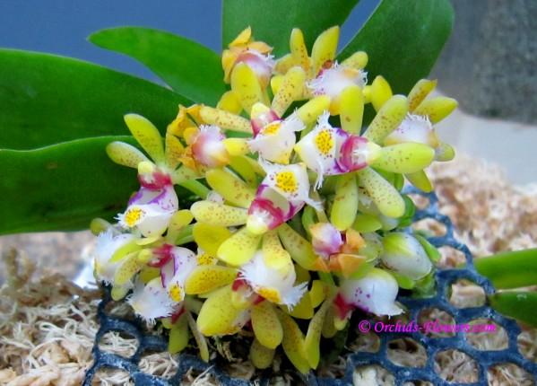 Gastrochilus bigibbus
