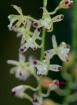 Acriopsis liliifolia (Acriopsis javanica)