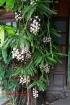 Aerides falcata orchids